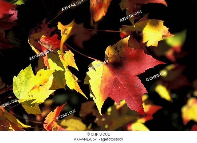 Fall foliage, Weston, Vermont, New England, USA
