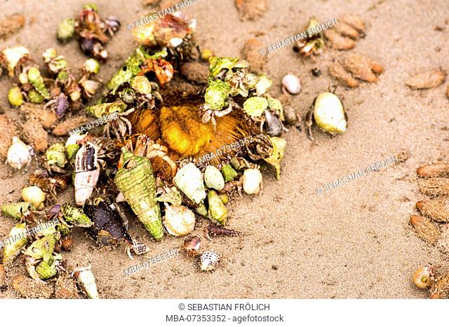 Hermit crabs eating a fruit
