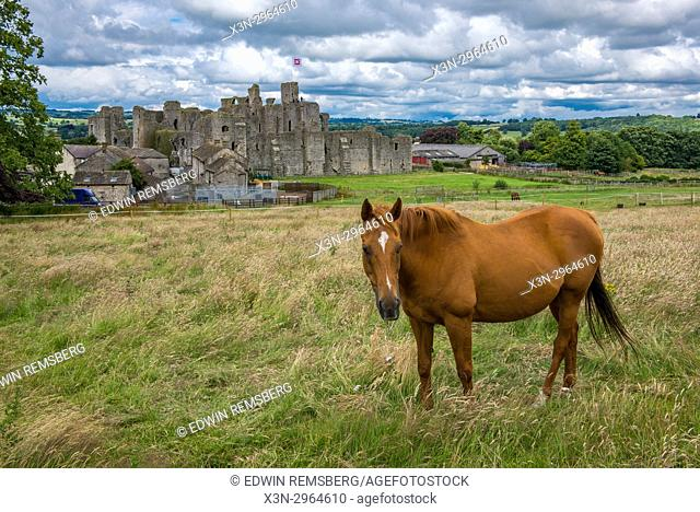 Sturdy horse grazes in grassy field in front of Middleham Castle, Wensleydale, in the county of North Yorkshire, England