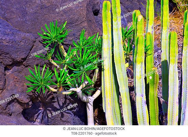 spain,canary islands, la palma : punta gorda , euphorbia canariensis & dragon-tree