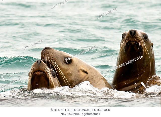 Sea lions, Bartlett Cove, Glacier Bay, near Gustavus, southeast Alaska USA