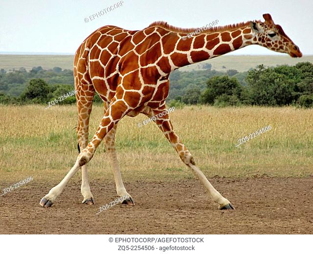 Reticulated giraffe, Giraffa camelopardalis reticulata. It is tallest living terrestrial animal and the largest ruminant