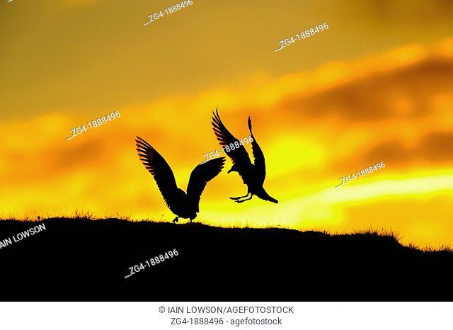 Great Skuas, Stercorarius skua, Unst, at midsummer sunset, Shetland Islands, Scotland