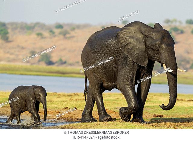 African Elephant (Loxodonta africana), female and her calf with wet skins have been crossing the Chobe River, Chobe National Park, Botswana