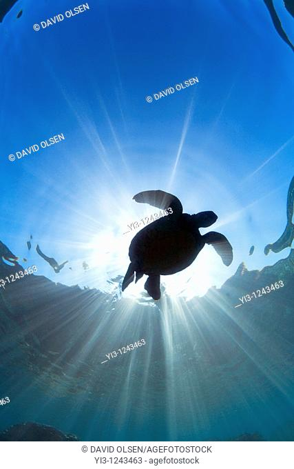 Green sea turtle with sun rays, off Maui, Hawaii