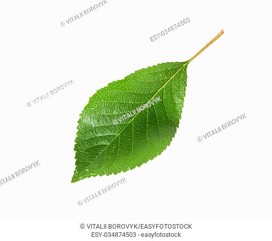 Single green leaf of cherry isolated on white background