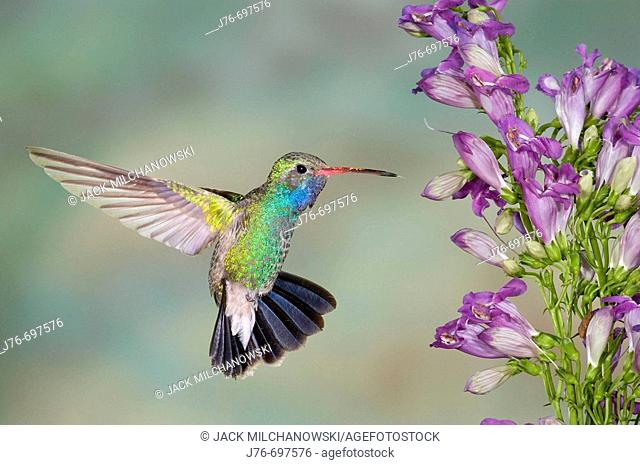 Broad-billed Hummingbird (Cynanthus latirostris), male with Penstemon (Penstemon barbatus x strictus)