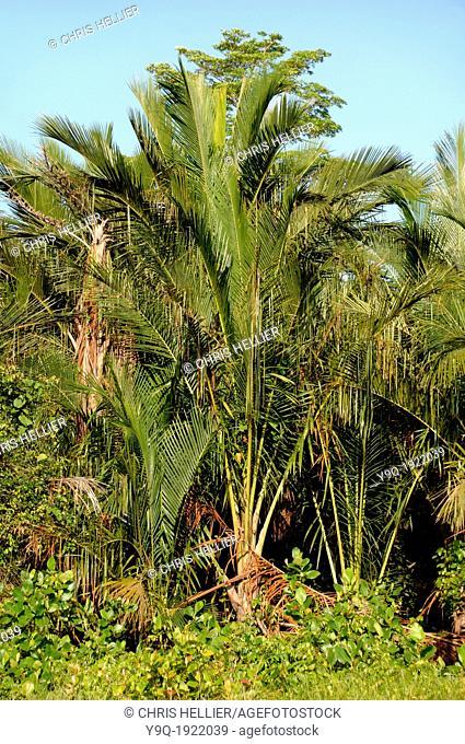 Sago Palm Plantation or Sago Palms Mukah Sarawak Borneo Malaysia