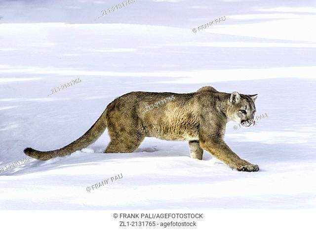 Mountain Lion Puma concolor couguar in snow, winter, captive.Bozeman, Montana