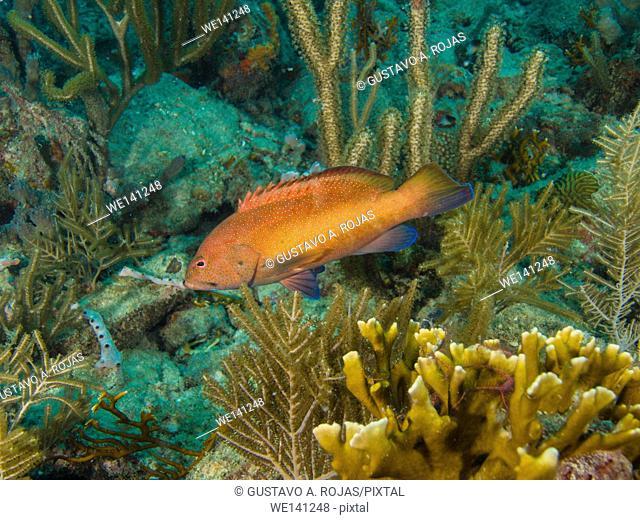 Coney Grouper, Cephalopholis fulva, , Los Roques, Venezuela. Los Roques, Venezuela