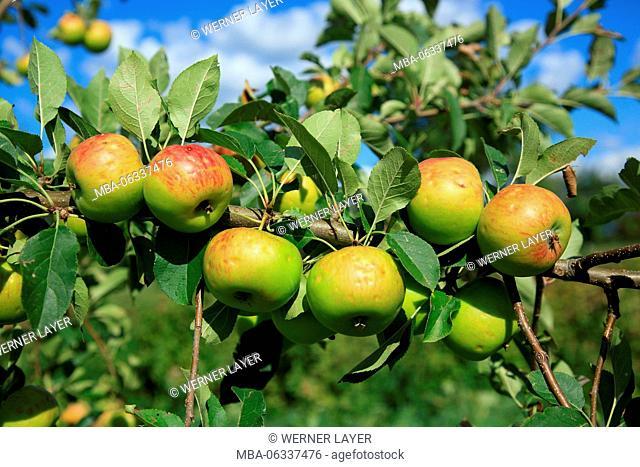 apple tree, detail