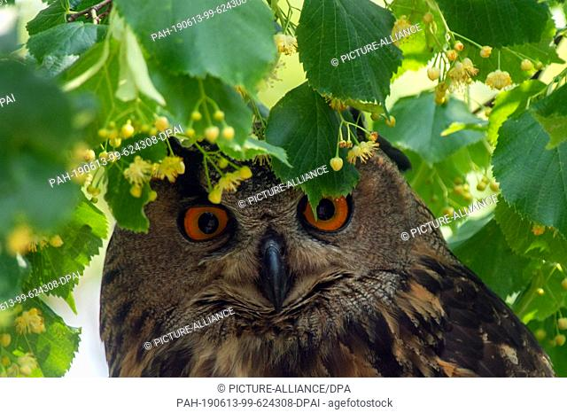 11 June 2019, Saxony-Anhalt, Hansestadt Havelberg: An eagle owl sits in a tree near St. Mary's Cathedral in Havelberg. The old bird has settled in a niche of...