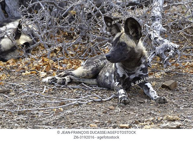 African wild dogs (Lycaon pictus) lying on arid ground, in the shade, Kruger National Park, South Africa, Africa