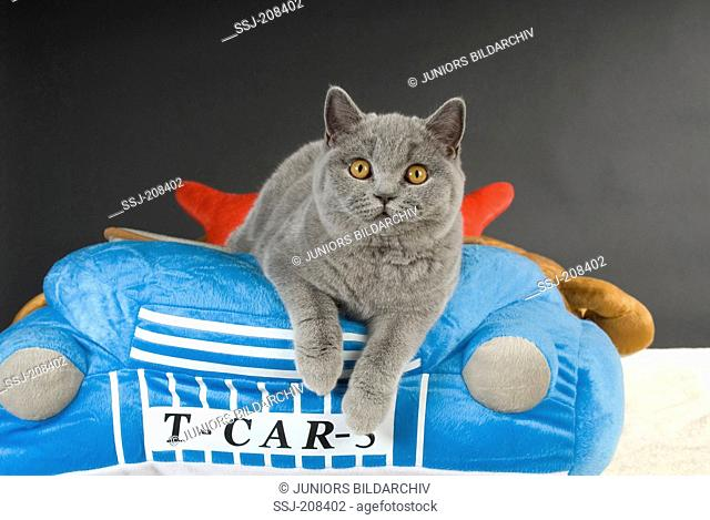 British Shorthair lying on a pet bed. Germany