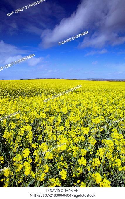 Rape Field, spring, Cornwall, UK