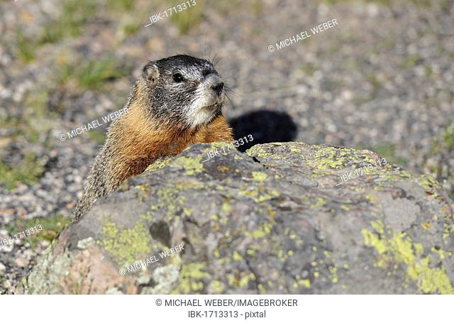 Yellow-bellied marmot (Marmota flaviventris) also known as rock chuck, hiding behind a stone, Yellowstone National Park, Wyoming, United States of America, USA