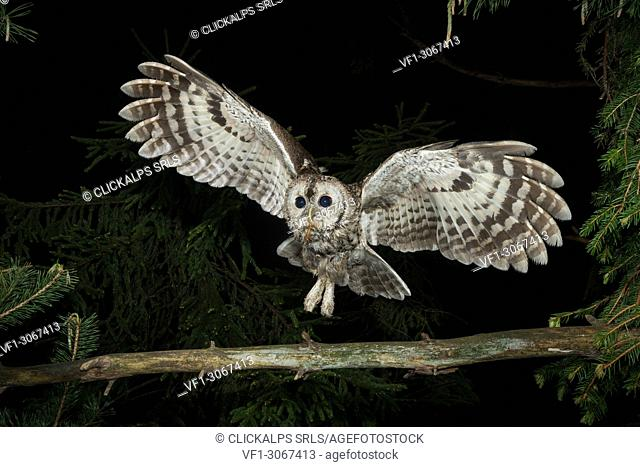 Tawny owl in night flight with a mouse in its beak, Trentino Alto-Adige, Italy