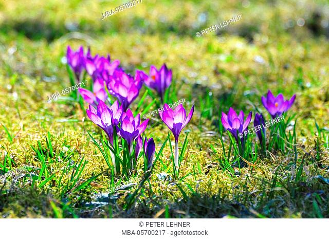 Flora, crocus, meadow