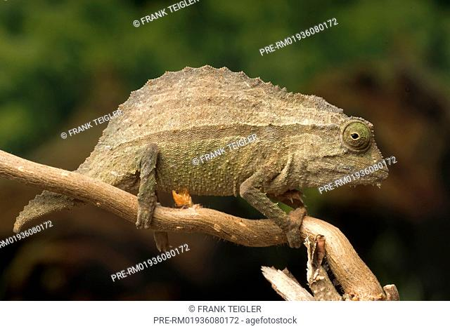 Pygmy Stump Tailed Chameleon Stock Photos And Images Age Fotostock