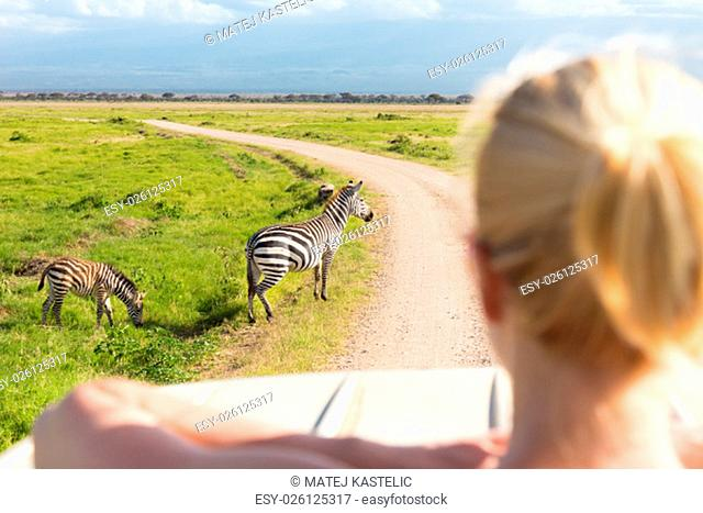 Woman on african wildlife safari observing zebras from open roof safari jeep. Rear view. Focus on zebras