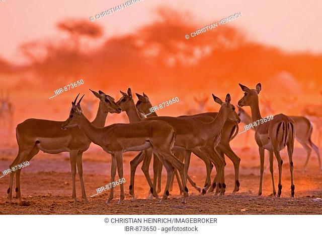 Impalas (Aepyceros melampus) at sunset, Nxai Pan, Makgadikgadi Pans National Park, Botswana, Africa
