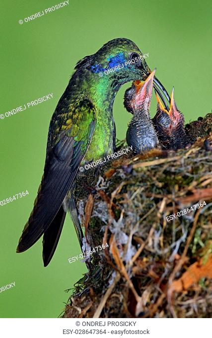Adult hummingbird feeding two chicks in the nest, Green Violet