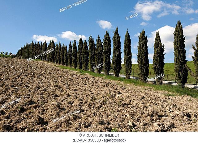 Mediterranean cypress, Tuscany, Italy, Europe, Cupressus sempervirens