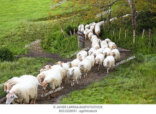 Flock of sheep. Sheep farm Latxa breed Gomiztegi Baserria, Arantzazu, Oñati, Gipuzkoa, Basque Country, Spain