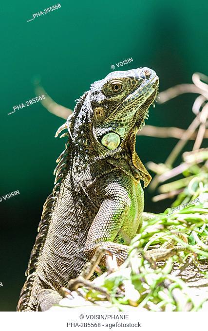 Green iguana of Central America