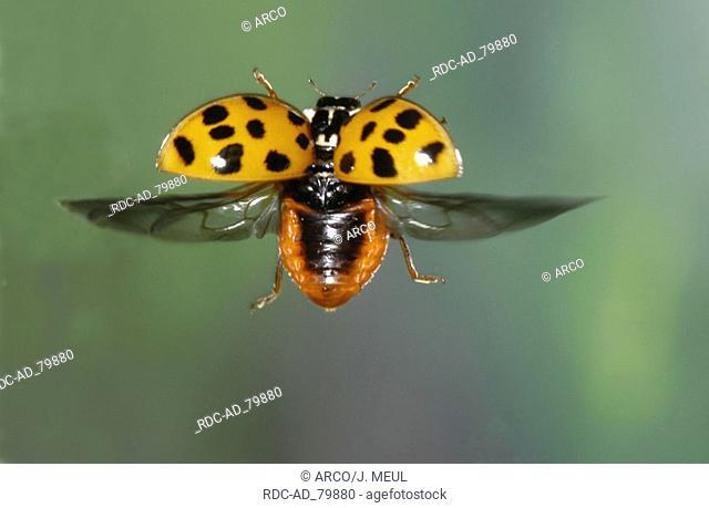 Multicolored Asian Lady Beetle Harmonia axyridis Multicolored