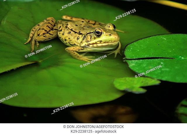 Mink frog (Rana septentrionalis), Greater Sudbury, Ontario, Canada