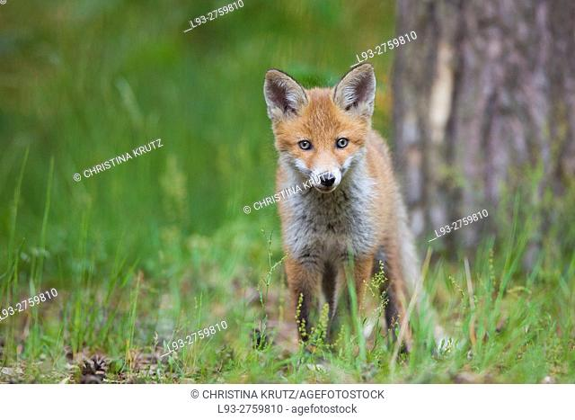 Red fox cub (Vulpes vulpes) in forest, Germany