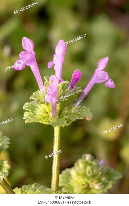 Close up view of the beautiful Lamium amplexicaule (Purple Dragon) flower in the wild