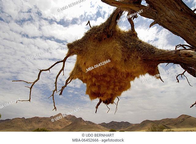 Africa, Namibia, NamibRand Nature Reserve, Wolwedane safari, tree, weaver bird nest