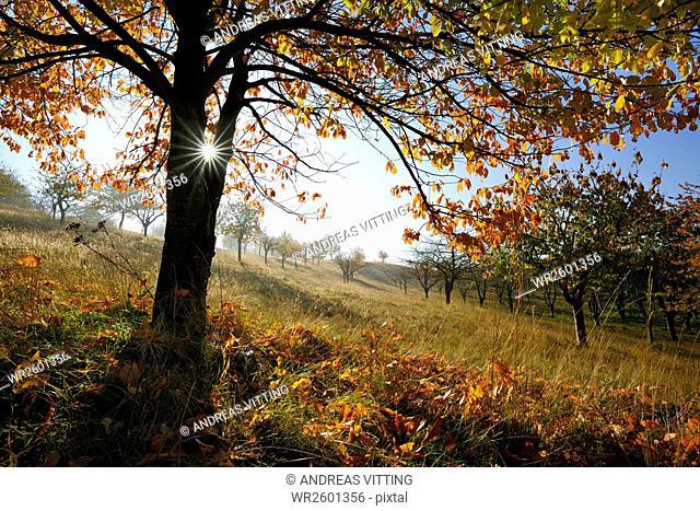 Cherry tree on orchard in autumn, Saalekreis district, Saxony Anhalt, Germany