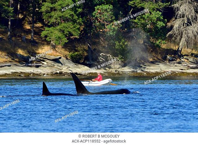 A man in a rubber boat watching a mother orca (Orcinus orca) with a baby pass by in a cove near Vancouver Island British Columbia, Canada