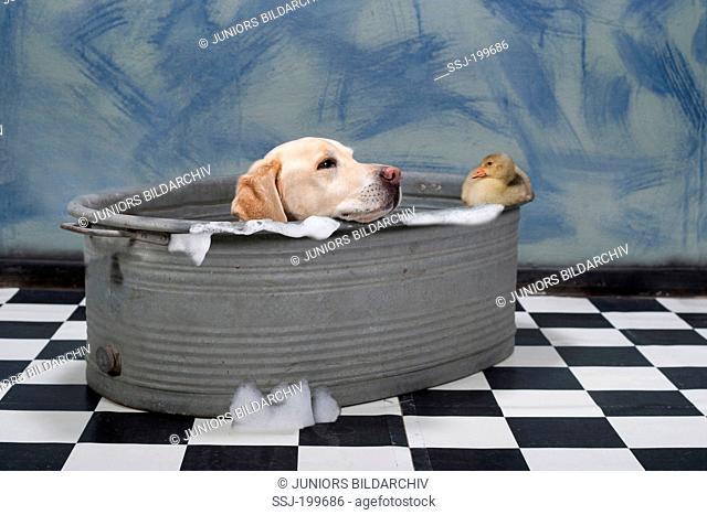 Labrador Retriever in a laundry tub watching gosling sitting on the rim. Germany