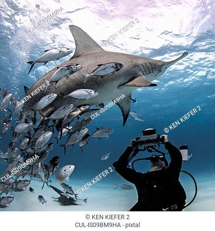 Diver taking photograph of great hammerhead shark, Alice Town, Bimini, Bahamas