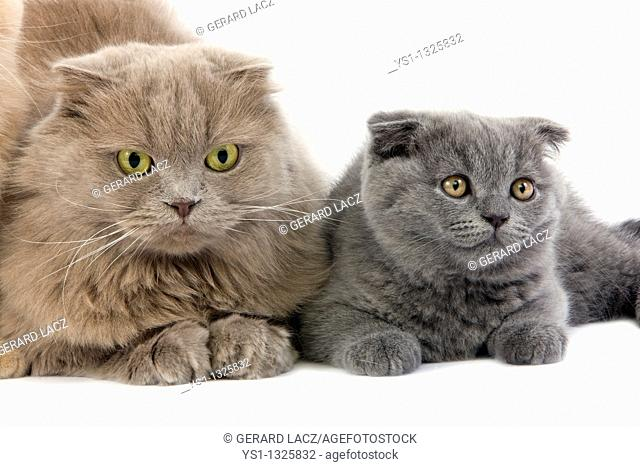 LILAC SELF HIGHLAND FOLD FEMALE AND BLUE SCOTTISH FOLD KITTEN