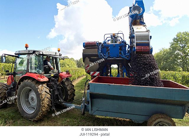 Grape harvester emptying harvested grapes into trailer in French vineyard