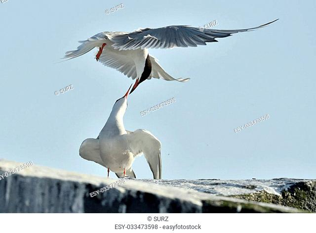 The Tern flies holding a beak a tail of other Tern. Closeup Portrait of Common Terns (Sterna hirundo). Adult common terns in flight on the blue sky background