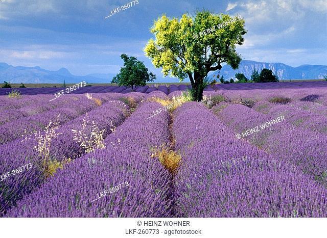 Almond tree in lavender field under clouded sky, Plateau de Valensole, Alpes de Haute Provence, Provence, France, Europe