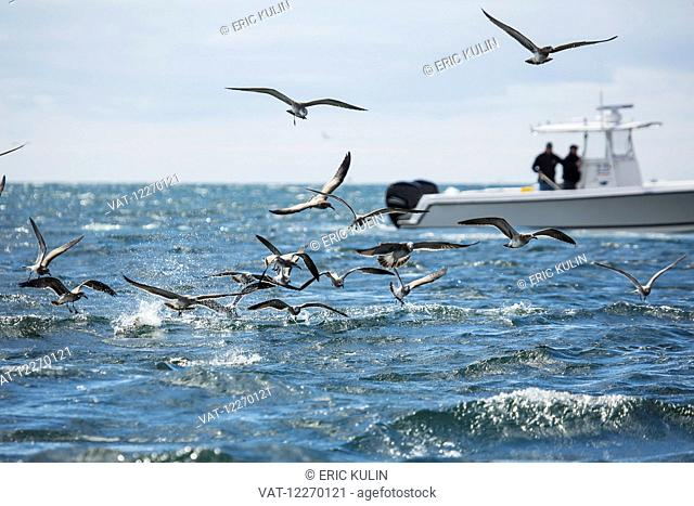 Flock of birds flying over the water and fishermen fishing of a boat; Martha's Vineyard, Massachusetts, United States of America