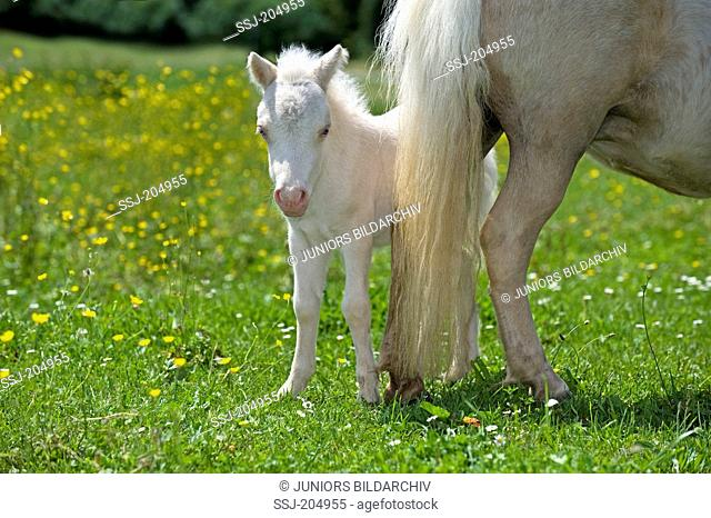 Miniature Shetland Pony. Palomino mare and foal (1 week old, cremello) on a meadow. Germany