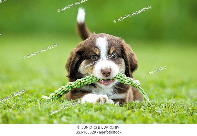 Miniature Australian Shepherd. Puppy with a toy rope in its mouth on grass