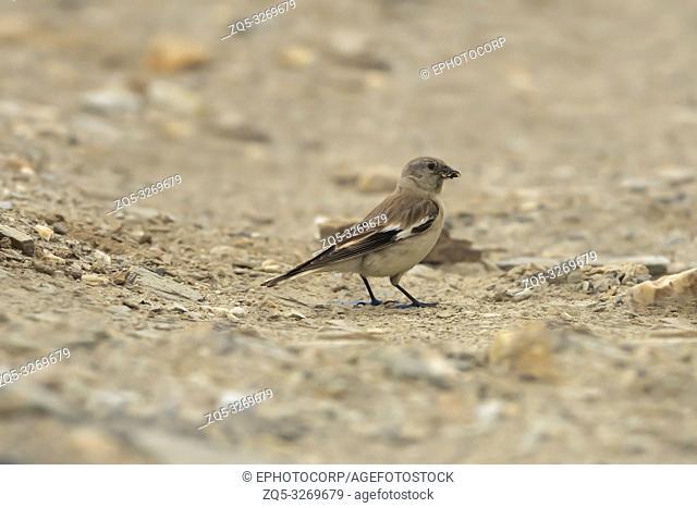 Henri's snowfinch, Montifringilla henrici, Tanglala Pass, Ladakh, Jammu and Kashmir, India