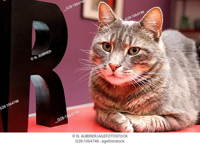 european cat,looking at something resting on a red bar with letter,green eyes,tomcat,might provoke allergy,sweet animal