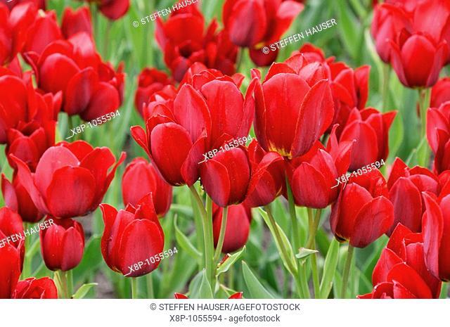 Multiflowering tulip Tulipa Red Georgette