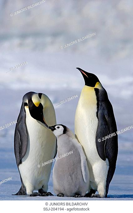 Emperor Penguin (Aptenodytes forsteri). Parent birds with chick. Snow Hill Island, Antarctica