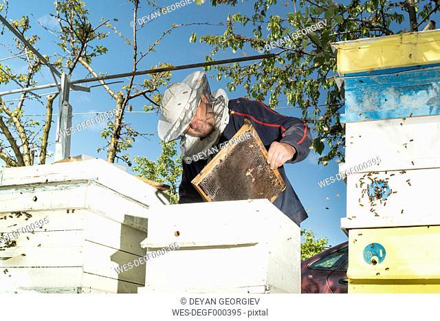 Bulgaria, Pleven, beekeeper with honeycombs